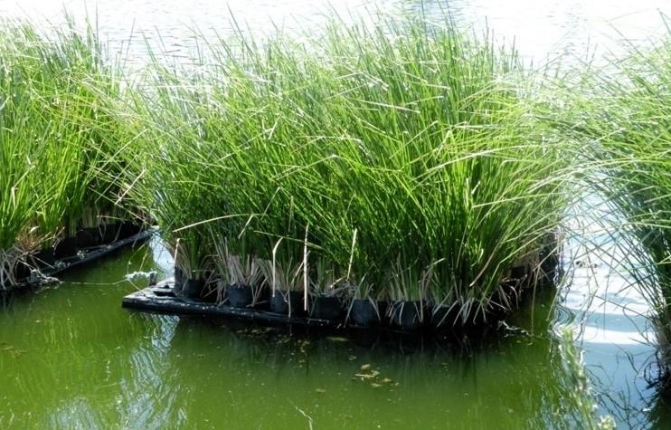 xử lý nước thải chăn nuôi bằng thực vật