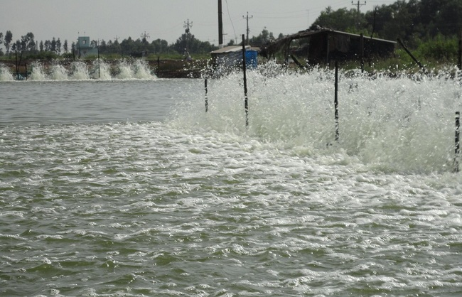 Ao nuôi cá bị ô nhiễm