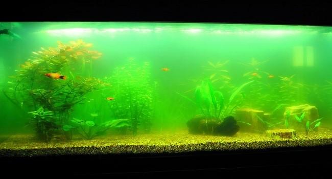 Xử lý nước hồ cá bị rêu