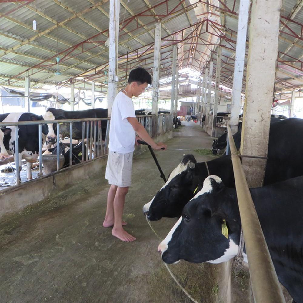 Chăn nuôi bò