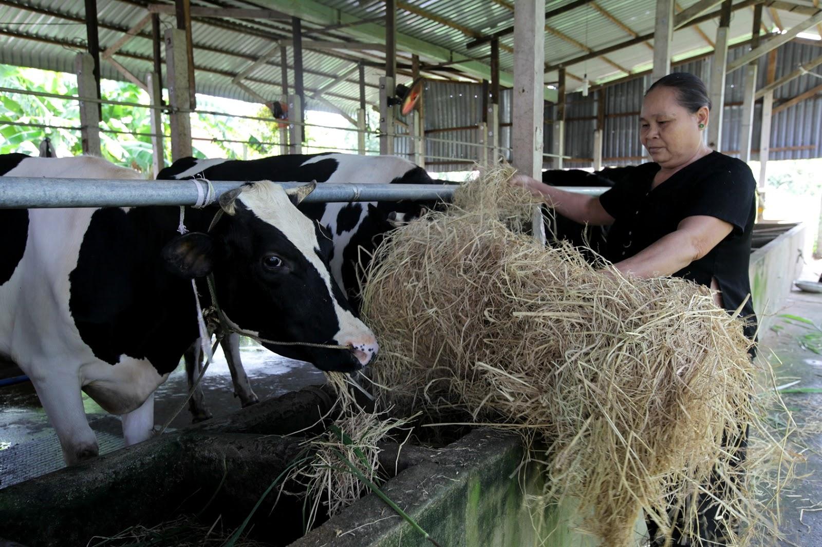 Nước thải chăn nuôi bò