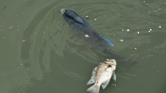 Ao nuôi cá bị nhiễm