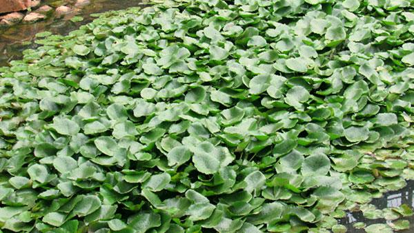 xử lý nước thải bằng thực vật thủy sinh