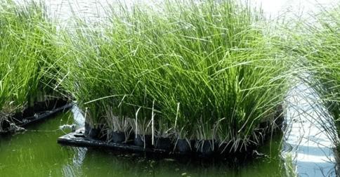 xử lý nước thải bằng thực vật